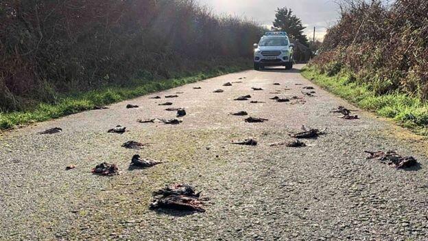 مرگ مشکوک صدها پرنده در ولز