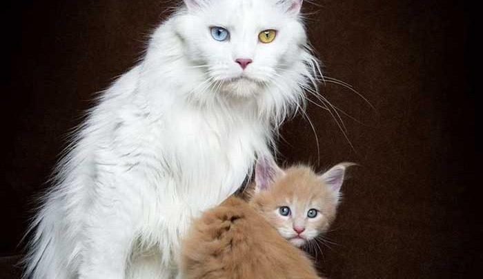گربه ای با یک نژاد خاص؛غول مهربان!