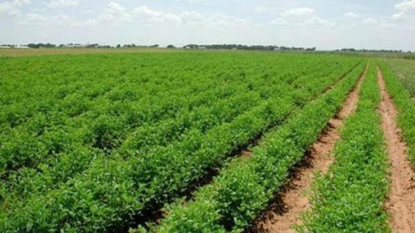 اختصاص 186 هکتار از اراضی شهربابک به کشت گیاهان داروئی